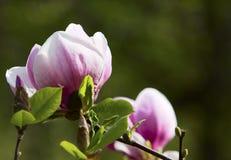 Blossoming дерево магнолии Стоковые Изображения