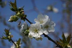 Blossoming дерево с белой цветк-деталью стоковое изображение rf