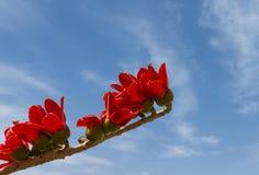 Blossoming дерево ceiba Bombax Стоковое Изображение