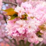 Blossoming деталь дерева Стоковое Изображение