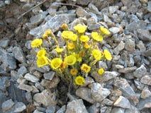 blossoming желтый цвет цветка Стоковые Изображения RF