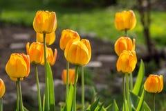 Blossoming желтые тюльпаны в саде Весеннее время Стоковое Изображение RF