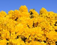 Blossoming желтый дрок Ulex цветет Буш с голубым небом Стоковая Фотография RF