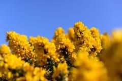 Blossoming желтый дрок Ulex цветет Буш с голубым небом Стоковое фото RF