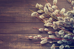 blossoming желтый цвет вербы весны цветков Ветви вербы с пушистыми почками Стоковое Изображение