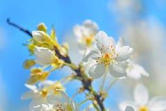 Blossoming завтрак-обед дерева с белыми цветками Стоковое Фото