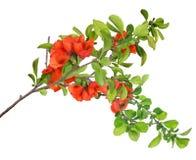 Blossoming изолированная ветвь гранатового дерева сочная Стоковые Изображения RF