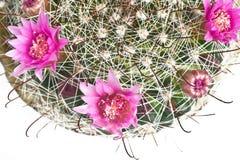 blossoming изолированный кактус Стоковое Изображение RF