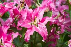 Blossoming лилии в саде стоковое изображение