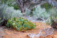 Blossoming кактусы в национальном лесе Dixie около образований песчаника Yant плоских в Юте Стоковые Фото