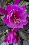 Blossoming кактус лист Стоковые Фото