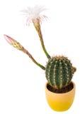 blossoming кактус цветет белизна Стоковая Фотография