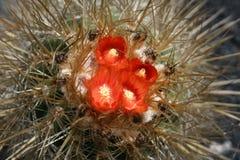 blossoming кактус Стоковые Изображения RF