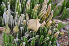blossoming кактус Стоковые Фотографии RF