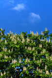 Blossoming каштан Город Стоковые Изображения RF