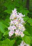 blossoming каштан Стоковые Изображения RF