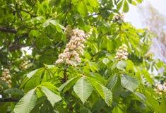 blossoming каштан Стоковые Фото