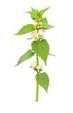 Blossoming крапива Стоковая Фотография RF