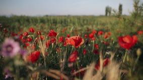 Blossoming красные цветки мака на поле в дне весны солнечном сток-видео