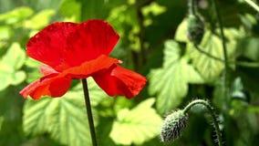 Blossoming красный мак против зеленой травы видеоматериал