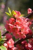blossoming красный цвет bush стоковое изображение