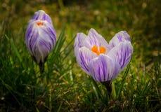 2 blossoming крокуса Стоковое Фото