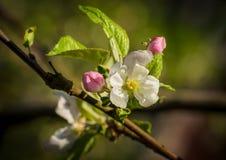 2 blossoming крокуса Стоковые Фотографии RF