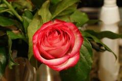blossoming крупный план детализировал структуру цветка розовую стоковые фото