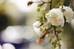 Blossoming куста белого dogrose Стоковое фото RF