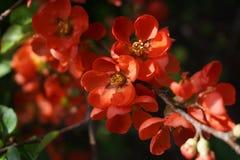 Blossoming куст с яркой оранжевой цветк-деталью стоковое изображение
