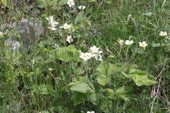 Blossoming клубники Стоковое Фото