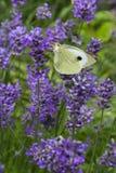 blossoming лаванда бабочки Стоковая Фотография RF