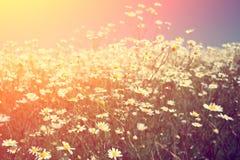 Blossoming луг на свете захода солнца Стоковая Фотография RF