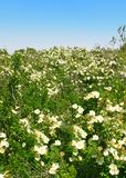 blossoming лужок цветков Стоковые Фото