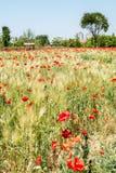 Blossoming мак цветет парк Стоковые Изображения