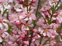 blossoming миндалины Стоковая Фотография