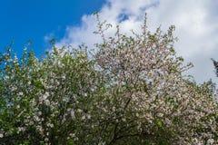 Blossoming миндального дерева Стоковое Изображение