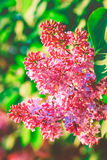 Blossoming на каштане, зеленый сад весны фиолетовый природы, лето и ослабляет, органический, тонизированный Стоковая Фотография