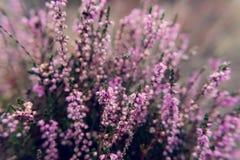 Blossoming общего вереска вереска vulgaris outdoors Стоковая Фотография RF