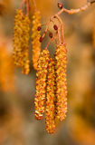blossoming ольшаника стоковое изображение rf
