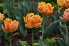 Blossoming оранжевые тюльпаны в саде Стоковые Фотографии RF