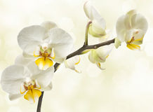 Blossoming орхидеи Стоковые Изображения