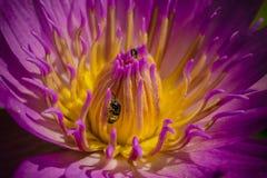 Blossoming лотоса Стоковое Изображение