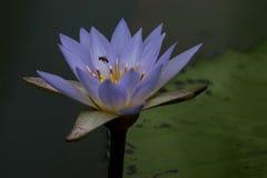 Blossoming лотосы Стоковая Фотография