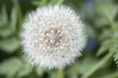 Blossoming одуванчик на луге Стоковые Фотографии RF