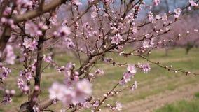 Blossoming персиковое дерево Движение камеры видеоматериал