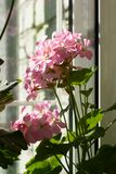 Blossoming пеларгония, популярное цветя комнатное растение Стоковые Изображения RF