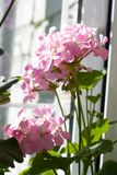 Blossoming пеларгония, популярное цветя комнатное растение Стоковые Изображения