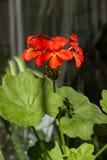 Blossoming пеларгония, цветя комнатное растение Стоковое Фото