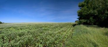 blossoming поле гречихи Стоковая Фотография RF